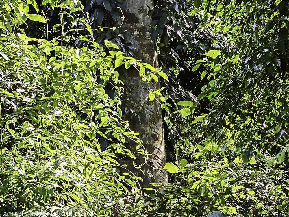 Mọi người thấy cái thân cây có vết chém để lấy nhựa không?